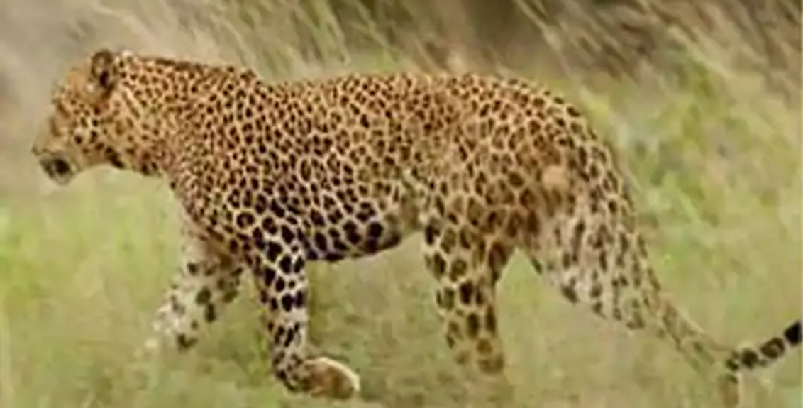 Eight-year-old girl dies in leopard attack