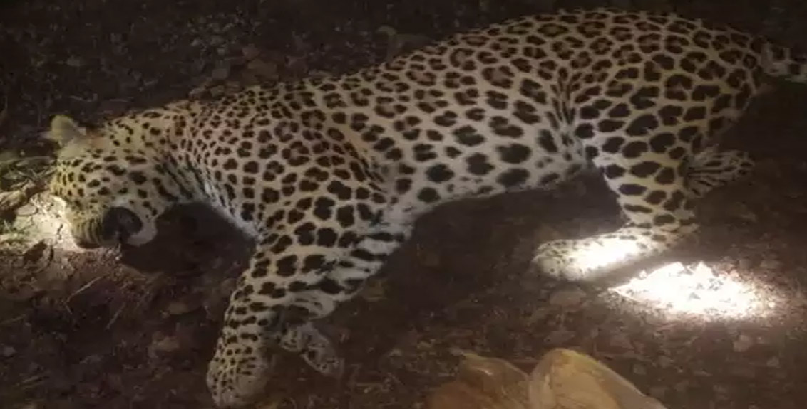 The forest department finally succeeded in killing the man-eating leopard