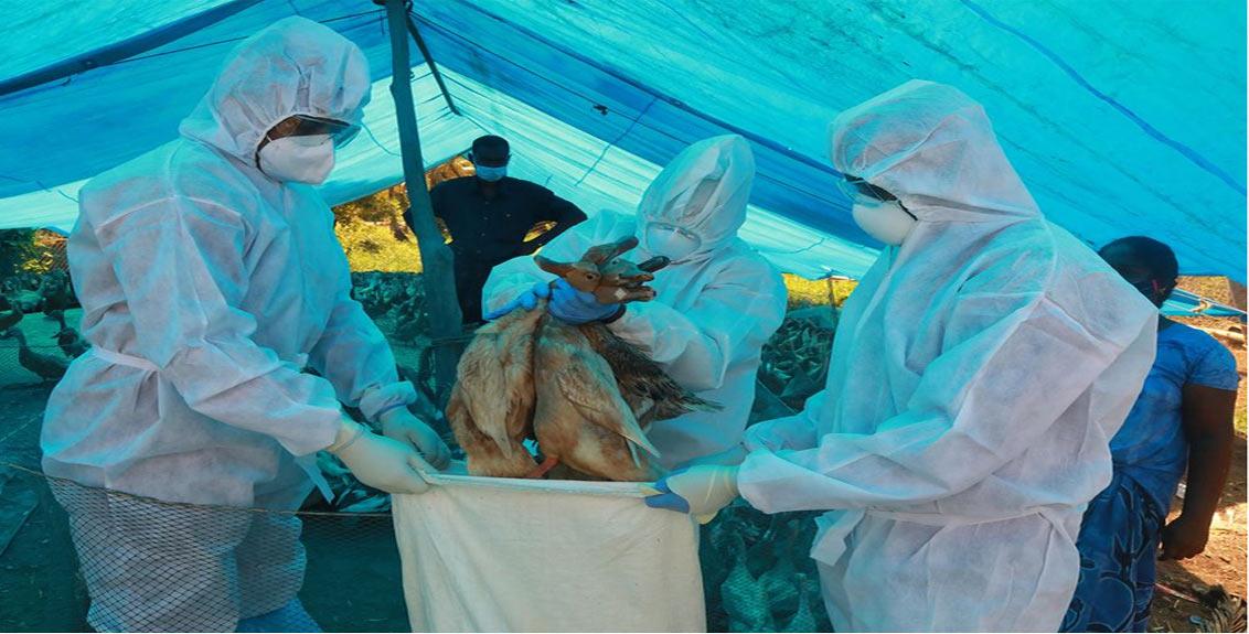 Bird Flu News Parbhani Poultry