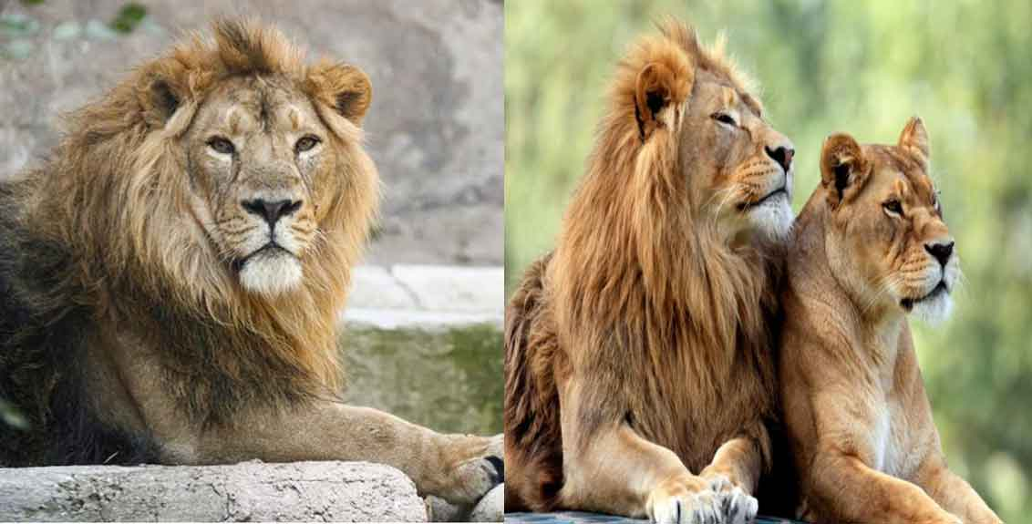 8 lions in Hyderabad zoo test positive for Covid, 1st such case in India